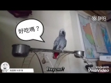 Будни говорящего попугая Датоу из Тайваня