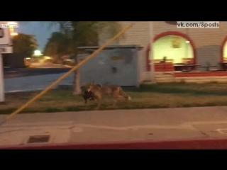 Койот поймал на ужин бродячего кота / Cat Eaten By Coyote