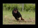 Красивый клип о Доберманах