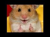 Хомяк в Колесе. Смешные Хомяки. Подборка 2016.  Funny Hamsters On Wheels 2016 Compilation.