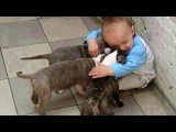 Pitbull puppy is the greatest friend of Baby  Funny Compilation