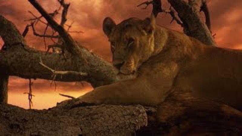 Последние львы. Лучшиы фильм про львов | National Geographic