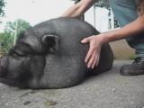 Pig Squeal (Brutal Death Metal)