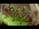 Росянка - плотоядное растение