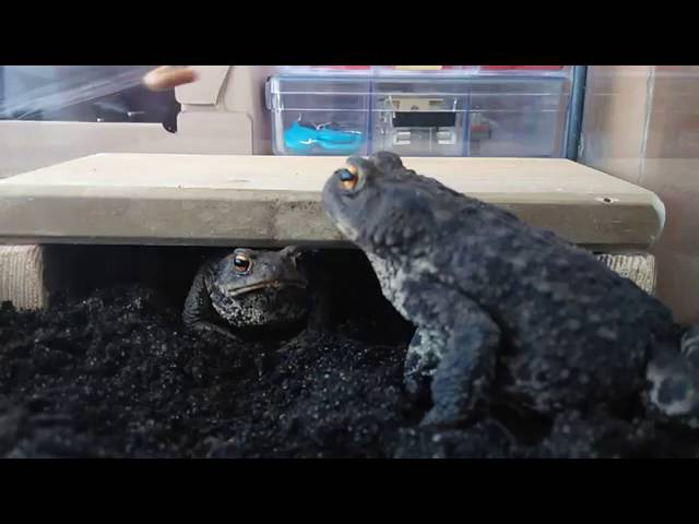 Кормление домашних жаб