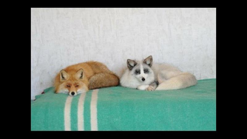 Можно ли содержать лису в домашних условиях