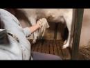 Как доить козу Дойка наших коз