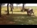 Бой Барана и Коровы. Кто победит