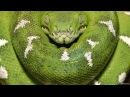 Самая большая в мире змея.Гиганты мира животных Nat geo wild документальные фильмы.