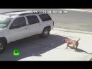 Кошка защитила ребенка от нападения собаки (RMC)