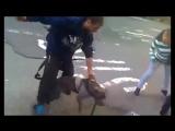 Köpek dövüşleri ve köpek kavgası hakkında ! ve köpek saldırıları ! kangal, pitbu