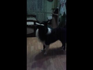 Реакция Вольта на собачий лай