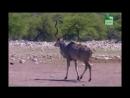 BBC Заповедник в дебрях Африки 03 серия Реальное ТВ животные 2005