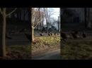 Ритуал индеек вокруг мертвого кота/ritual dance turkeys