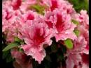 Комнатные растения, цветущие зимой и поздней осенью.