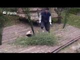 Милое смешное видео с малышом-панды))