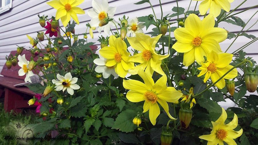 Георгины однолетние - любимые цветы