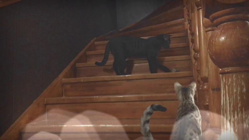 Сервал и котёнок Чаузи F1 Black🐆 Питомник SoulCats 🐾