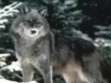 Гера Грач. Волк.
