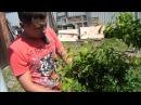Защитный пояс от муравьев и тли на плодовых деревьях