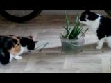 Кошки вегитарианцы