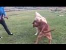 Анатолийская овчарка VS тоса ину (собачьи бои
