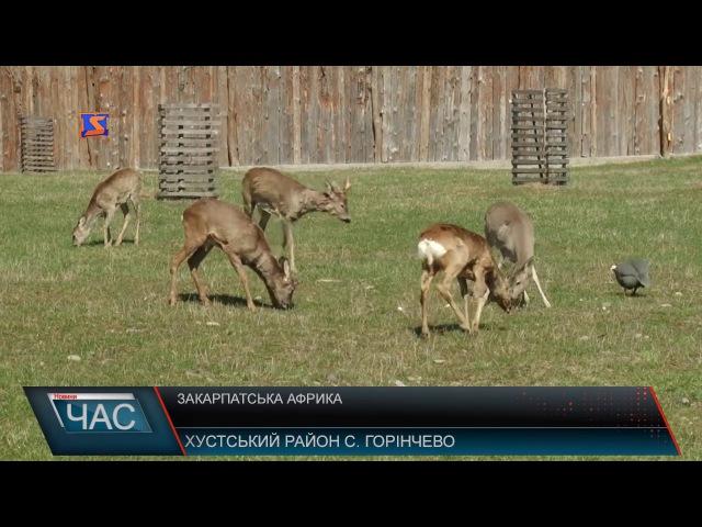 Закарпатська Африка У Хустському селі Горінчево на одному подвір'ї екзотичні та свійські тварини