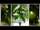 Как вырастить Авокадо из косточки в домашних условиях - (ч.3)
