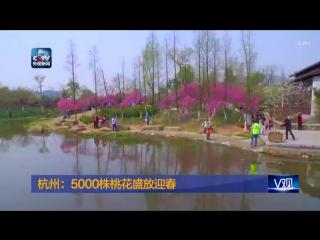 Цветущие персики в городе Ханчжоу