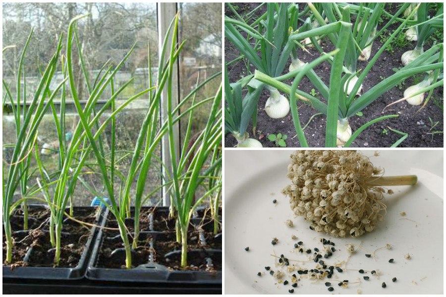 Выращивание репчатого лука 84