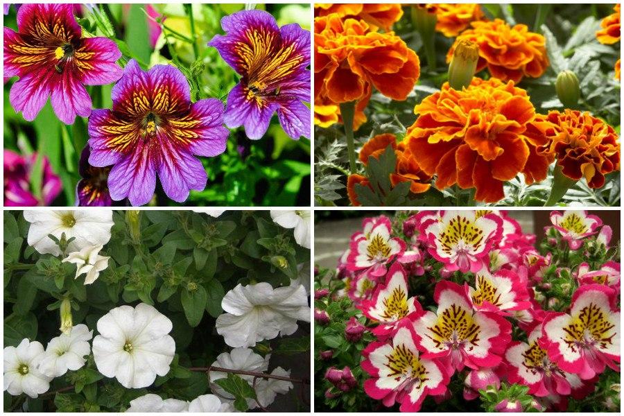 Однолетние и двухлетние цветы и растения