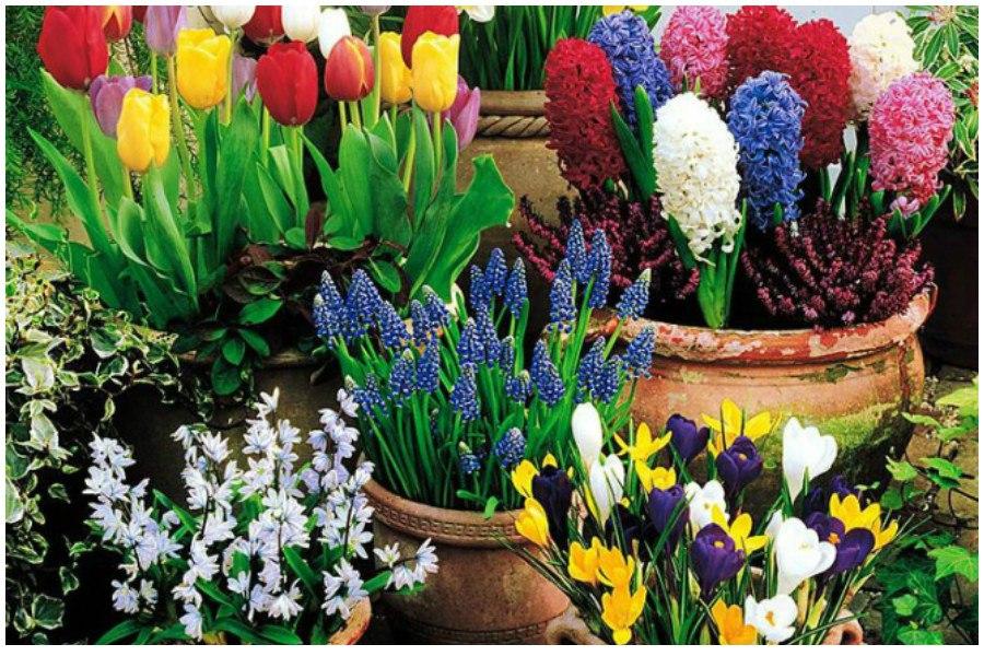 Луковичные и клубнелуковичные цветы