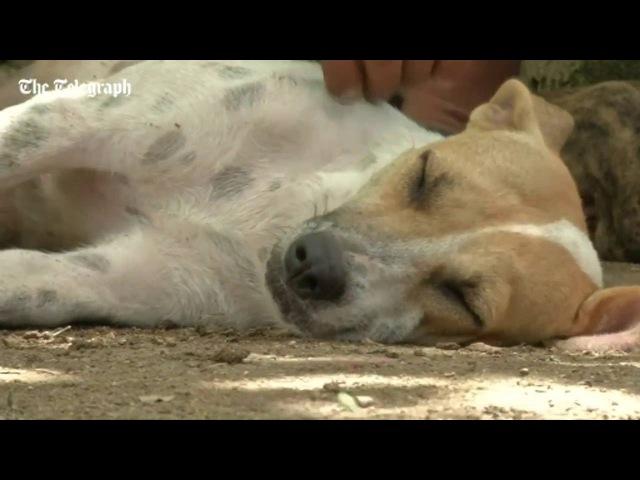 На Кубі собака усиновила поросят