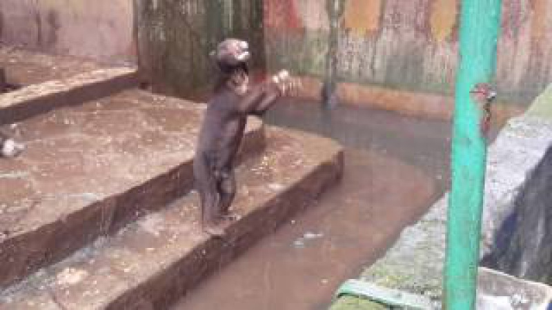 Very Sad Heartbreak Sun bears at Bandung Zoo very hungry and thin Visitors give them junk food