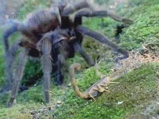 Экспериментатор. Тарантул против скорпиона