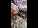 Водяная крыса