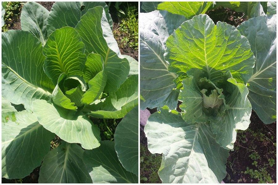 Когда и чем подкормить белокочанную капусту на огороде