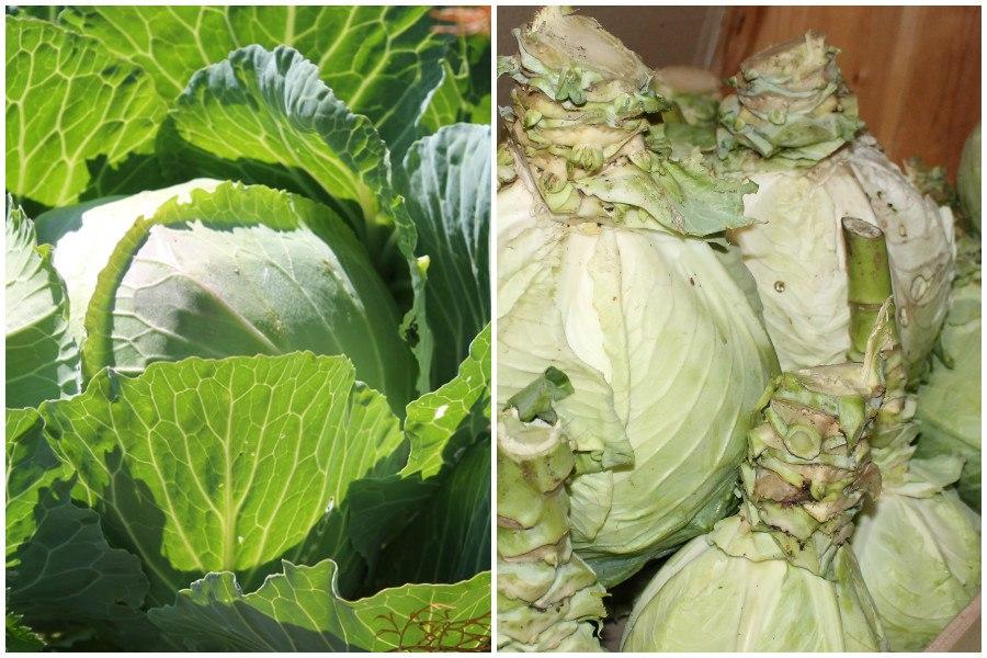 подкормка белокочанной капусты