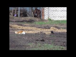 Настырная ворона и рыжий кот, который хотел побыть в одиночестве.