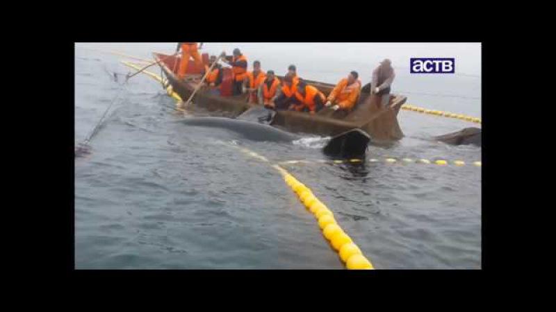 На юге Сахалина рыбаки спасли косатку из сетей