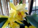 CATTLEYA Orchid Blc Mildred Hollingsworth Yellow
