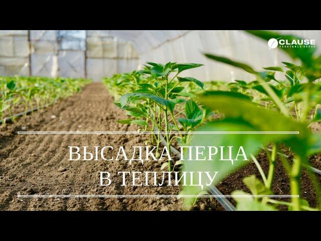 ВЫСАДКА РАССАДЫ ПЕРЦА В ТЕПЛИЦУ ВЫСАЖИВАЕМ ГЕРКУЛЕС F1