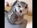 Speaking Owl Hey!