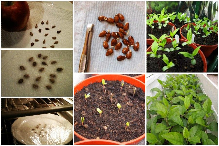 Стратификация семян яблони в холодильнике между слоями влажной салфетки и посадка их в горшок