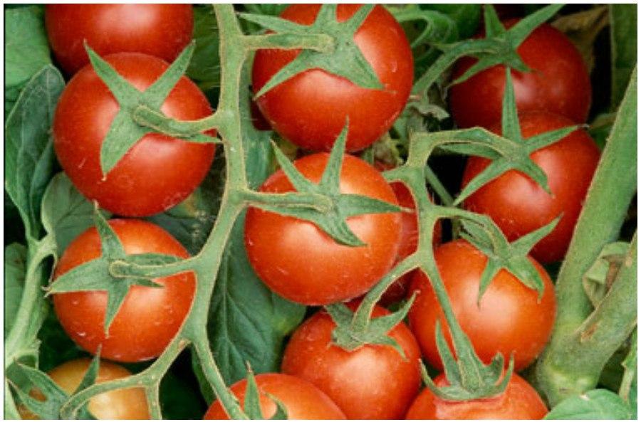 Три основных правила, как вырастить здоровые томаты