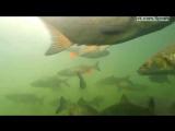 Много огромной рыбы в пруду Чернобыля / Fish in Chernobyl plants cooling pond