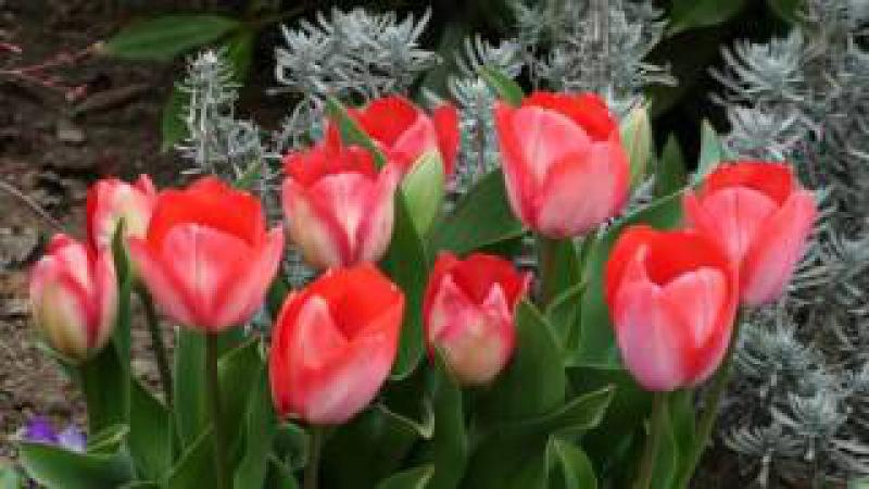 красивые тюльпаны и восхитительная музыка Robert Amirkhanian–Erajshtutyun
