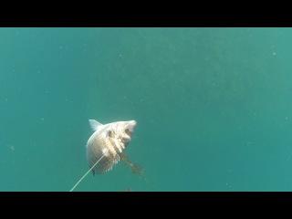Подводная охота (без обработки). Второй шанс.