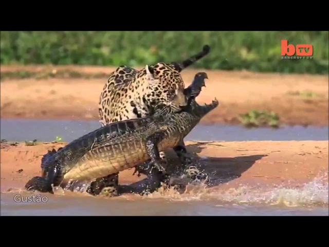 Espetacular! Onça-Pintada Ataca Jacaré no Pantanal Brasileiro.