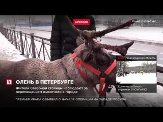 Сбежавший олень нарушил скоростной режим и пересек двойную сплошную